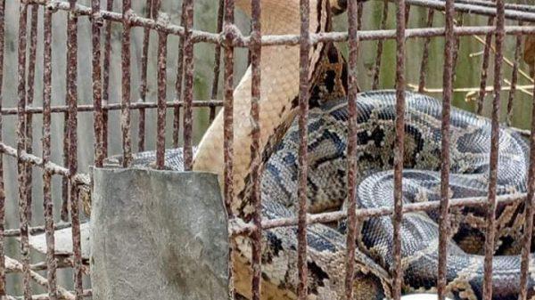 পাটগ্রামে ভুট্টাক্ষেতে পাওয়া গেল বিষধর অজগর সাপ